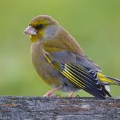 European greenfinch. Adult male in courtship posture. Wellington airport, August 2016. Image © Paul Le Roy by Paul Le Roy