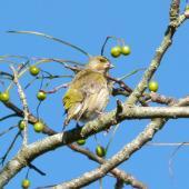 European greenfinch. Adult female. Waikato, July 2012. Image © Joke Baars by Joke Baars
