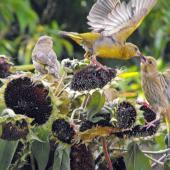 European greenfinch. Adult male feeding juvenile. Hamilton, February 2010. Image © Ray Buckmaster by Ray Buckmaster