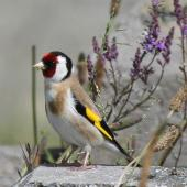 European goldfinch. Adult male. Wellington, January 2010. Image © Duncan Watson by Duncan Watson