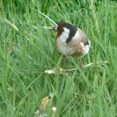 European goldfinch. Adult female eating dandelion seed. Lower Hutt, November 2011. Image © John Flux by John Flux
