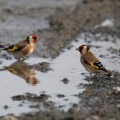 European goldfinch. Adult females drinking from water pool. Ahuriri, Napier, May 2015. Image © Adam Clarke by Adam Clarke