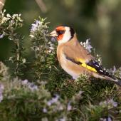 European goldfinch. Adult male feeding on rosemary petals. Palmerston North, May 2016. Image © Alex Scott by Alex Scott