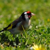 European goldfinch. Adult female. Riversdale,  Wairarapa, October 2007. Image © Peter Reese by Peter Reese