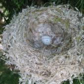 European goldfinch. Nest with egg. Morrinsville, January 2005. Image © Andrew Thomas by Andrew Thomas