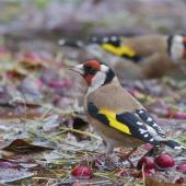 European goldfinch. Adults bathing, male in foreground. Christchurch Botanic Gardens, May 2014. Image © Steve Attwood by Steve Attwood http://www.flickr.com/photos/stevex2/