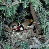 European goldfinch. Pair at nest containing chicks. Female removing faecal sac. Gisborne, January 1979. Image © Department of Conservation (image ref: 10031117) by Dick Veitch Courtesy of Department of Conservation