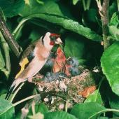 European goldfinch. Adult female feeding chicks at nest. . Image © Department of Conservation (image ref: 10048718) Courtesy of Department of Conservation
