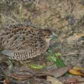 Brown quail. Adult with fluffed up feathers. Tiritiri Matangi Island, May 2012. Image © Andrew Thomas by Andrew Thomas