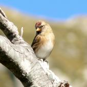 Common redpoll. Adult female. Arthur's Pass, March 2011. Image © Joke Baars by Joke Baars