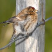 Common redpoll. Female on fence. Stephens Island, August 2008. Image © Peter Reese by Peter Reese