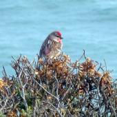 Common redpoll. Adult male. Catlins, November 2011. Image © James Mortimer by James Mortimer