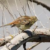 Yellowhammer. Immature. Whangaehu River estuary, February 2013. Image © Ormond Torr by Ormond Torr