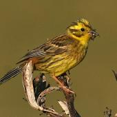 Yellowhammer. Female carrying food for young. Wanganui, January 2008. Image © Ormond Torr by Ormond Torr