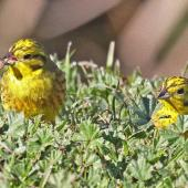 Yellowhammer. Two adult females. Te Awanga, Hawke's Bay, July 2009. Image © Dick Porter by Dick Porter One yellowhammer has a small snail in its beak