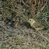 Yellowhammer. Adult female at nest containing chicks. . Image © Department of Conservation (image ref: 10031798) by Mike Soper Courtesy of Department of Conservation