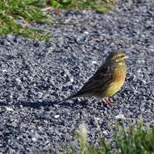 Cirl bunting. Male. Kaikoura, May 2009. Image © Duncan Watson by Duncan Watson
