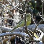 Cirl bunting. Adult female perched on branch. Wainuiomata Coast, November 2014. Image © Duncan Watson by Duncan Watson