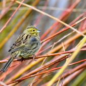 Cirl bunting. Female. Auxerre,  France, February 2017. Image © Cyril Vathelet by Cyril Vathelet