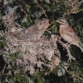 Cirl bunting. Male at nest with 3 chicks. . Image © Te Papa by Kenneth Bigwood