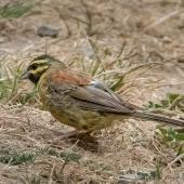 Cirl bunting. Adult male. Halswell quarry, Christchurch, February 2019. Image © Greg McKenzie by Greg McKenzie