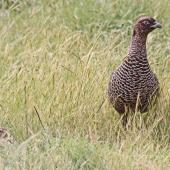 Common pheasant. Dark female with young chick. Cape Kidnappers, November 2009. Image © Dick Porter by Dick Porter