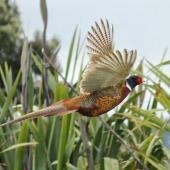 Common pheasant. Adult male in flight. Waikanae estuary, December 2013. Image © Roger Smith by Roger Smith