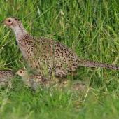 Common pheasant. Female with  chicks. Cornwall Park, December 2012. Image © Ron Chew by Ron Chew