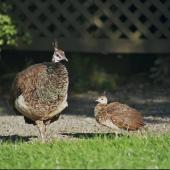 Peafowl. Hen with chick (captive birds).. Banks Peninsula, March 2005. Image © Raewyn Adams by Raewyn Adams
