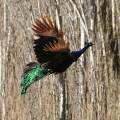 Peafowl. Adult male in flight. Wanganui, May 2012. Image © Ormond Torr by Ormond Torr
