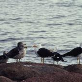 Pacific gull. Flock of adults and immatures. Coles Bay, Tasmania, September 1995. Image © Alan Tennyson by Alan Tennyson