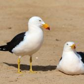 Pacific gull. Adult pair. Venus Bay, South Australia, August 2016. Image © John Fennell by John Fennell