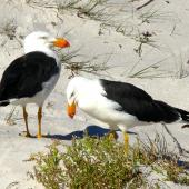 Pacific gull. Adult pair. Freycinet National Park, Tasmania, March 2013. Image © Tony Crocker by Tony Crocker
