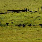 Wild turkey. Flock feeding. Near Muriwai, January 2009. Image © Peter Reese by Peter Reese