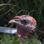 Wild turkey. Adult female. Ambury Regional Park, December 2015. Image © George Curzon-Hobson by George Curzon-Hobson