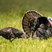 Wild turkey. Male displaying (with female on left). , November 2018. Image © Les Feasey by Les Feasey