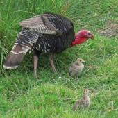 Wild turkey. Adult male with chicks. Waimarama, Southern Hawke's Bay, November 2011. Image © Roger Smith by Roger Smith