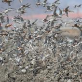 Bar-tailed godwit. Flock landing on fishpond wall while on northward migration. Yalu Jiang National Nature Reserve, China, April 2010. Image © Phil Battley by Phil Battley