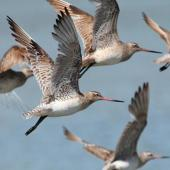 Bar-tailed godwit. Non-breeding adults in flight. Manawatu River estuary, October 2013. Image © Roger Smith by Roger Smith