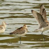 Bar-tailed godwit. Non-breeding adult (right) showing underwing. Wanganui, November 2009. Image © Ormond Torr by Ormond Torr