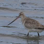 Bar-tailed godwit. Non-breeding adult wading. Avon-Heathcote estuary, March 2014. Image © Steve Attwood by Steve Attwood  http://www.flickr.com/photos/stevex2/