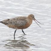 Bar-tailed godwit. Adult in breeding plumage showing flexibility of upper mandible. Avon-Heathcote estuary, March 2014. Image © Steve Attwood by Steve  http://www.flickr.com/photos/stevex2/