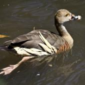 Plumed whistling duck. Adult swimming. Port Douglas,  Queensland,  Australia, August 2015. Image © Rebecca Bowater by Rebecca Bowater FPSNZ AFIAP www.floraandfauna.co.nz