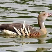 Plumed whistling duck. Adult swimming. Anderson Park, Napier, December 2016. Image © Scott Brooks (ourspot) by Scott Brooks