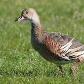 Plumed whistling duck. Adult. Napier, October 2014. Image © Gary Stone by Gary Stone