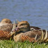 Plumed whistling duck. Two adults roosting. Napier, October 2014. Image © Gary Stone by Gary Stone