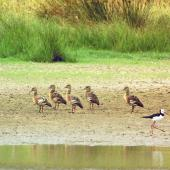 Plumed whistling duck. Flock of five. Near Woodville, March 2007. Image © Alex Scott by Alex Scott