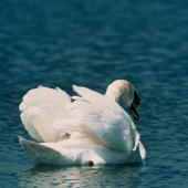 Mute swan. Rear view of adult on water. . Image © Department of Conservation ( image ref: 10033339 ) by Murray Williams, Department of Conservation  Courtesy of Department of Conservation