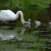Mute swan. Female (pen) with cygnets. Harts Creek, December 2009. Image © Peter Reese by Peter Reese