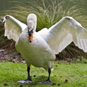 Mute swan. Captive bird stretching wings. Hamilton, October 2012. Image © Raewyn Adams by Raewyn Adams